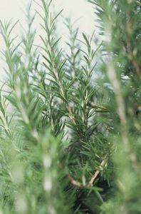 Green Rosemary Leaves...just what I am unable to find